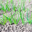 Постер, плакат: Onions seedlings on a bed