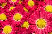 Red chrysanthemums closeup — Stock Photo