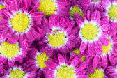 Violet chrysanthemums flowers closeup — Stock Photo