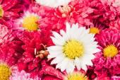 Chrysanthemums flowers background — Stock Photo