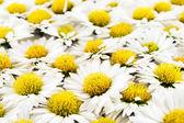 White chrysanthemums flowers closeup — Stock Photo