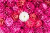 Chrysanthemums flowers closeup — Stock Photo