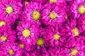 Violet chrysanthemums flowers — Stock Photo