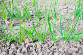 Onions seedlings on a bed — Stock Photo