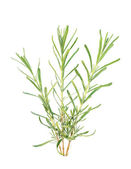 Three lavender branches — Stock Photo