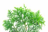 Branch of a thuja tree — Stock Photo