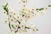 Plum tree flowers — Stock Photo