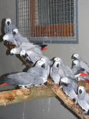 Confiscated gray parrots (Psittacus erithacus) — Stock Photo