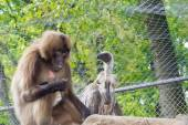 Gelada baboon (Theropithecus gelada) and a white-backed vulture  — Stock Photo
