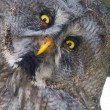 Great gray owl (Strix nebulosa) — Stock Photo #52486985