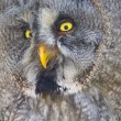Great gray owl (Strix nebulosa) — Stock Photo #52486989