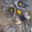 Great gray owl (Strix nebulosa) — Stock Photo #52486995