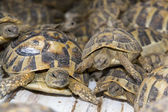 Crowd of smuggled Hermann's tortoises (Testudo hermanni) — Stock Photo
