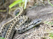 Hungarian meadow viper (Vipera ursinii rakosiensis) — Stock Photo