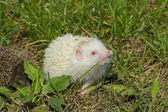 Albino northern white-breasted hedgehog (Erinaceus roumanicus)  — Stock Photo