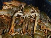 Narrow-clawed crayfish (Astacus leptodactylus) — Stock Photo