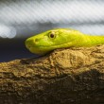 Western green mamba (Dendroaspis viridis) — Stock Photo #56661757