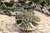 Eastern diamondback rattlesnake (Crotalus adamanteus) — Stock Photo