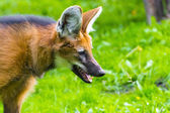 Maned wolf (Chrysocyon brachyurus) — Stock Photo