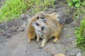Meerkat (Suricata suricatta) baby — Stock Photo