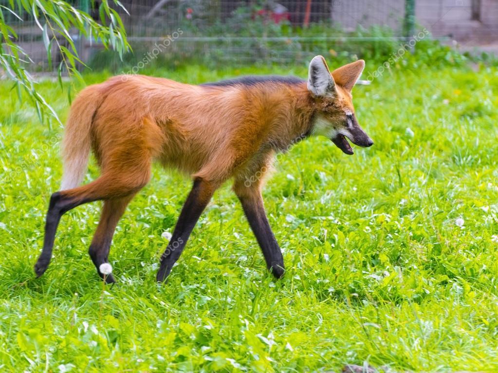 Maned Wolf Habitat Maned Wolf Chrysocyon