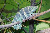 Meller's chameleon (Trioceros melleri) — Stock Photo