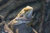 Inland bearded Dragons (Pogona vitticeps) — Stock Photo