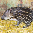Newborn lowland tapir (Tapirus terrestris) — Stock Photo #60536353