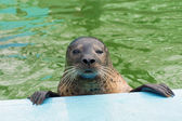 Harbor seal (Phoca vitulina) — Stock Photo