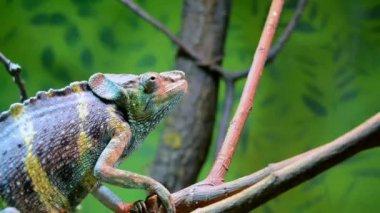 Feeding a Meller's chameleon (Chamaeleo melleri) — Stock Video