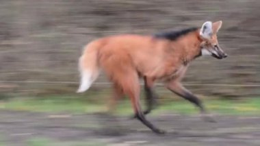 Maned wolf (Chrysocyon brachyurus) — Stock Video