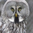 Great gray owl (Strix nebulosa) — Stock Photo #64782309