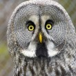 Great gray owl (Strix nebulosa) — Stock Photo #64782479