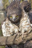 Short-toed snake eagle (Circaetus gallicus)  — Stock Photo