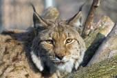 Eurasian lynx (Lynx lynx) — Stock Photo