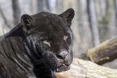 Jaguar (Panthera onca) — Stock Photo