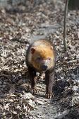 Bush dog (Speothos venaticus) — Stock Photo