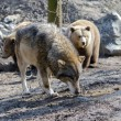 Gray wolf (Canis lupus) and brown bear (Ursus arctos) — Stock Photo #67766841