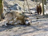 Gray wolf (Canis lupus) and brown bear (Ursus arctos) — Stock Photo