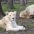 After love - white lion and lioness (Panthera leo kruegeri) — Stock Photo #68815971