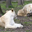 After love - white lion and lioness (Panthera leo kruegeri) — Stock Photo #68816021