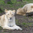 After love - white lion and lioness (Panthera leo kruegeri) — Stock Photo #68816123