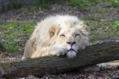 White lion (Panthera leo krugeri) — Stockfoto
