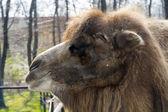 Bactrian camel (Camelus bactrianus) calf — Stock Photo