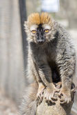 Red lemur (Eulemur rufus) — Stock Photo