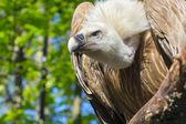 Griffon vulture (Gyps fulvus) — Stock Photo