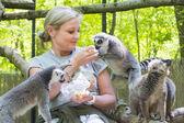 Feeding lemurs — Stock Photo