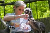 Feeding lemurs — Stock Photo