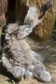 Newborn Bactrian camel (Camelus bactrianus) — Stock Photo
