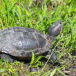Red-eared slider (Trachemys scripta elegans) — Stock Photo #72850757